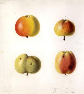 Watercolour drawing of six apples