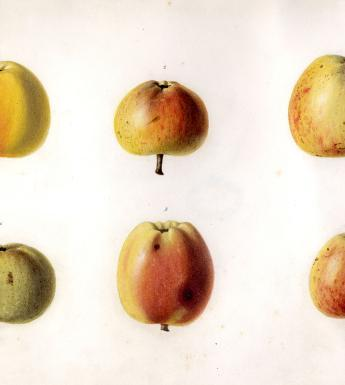 Botanical illustration of apples