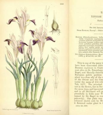Double-page spread from Curtis's Botanical Magazine