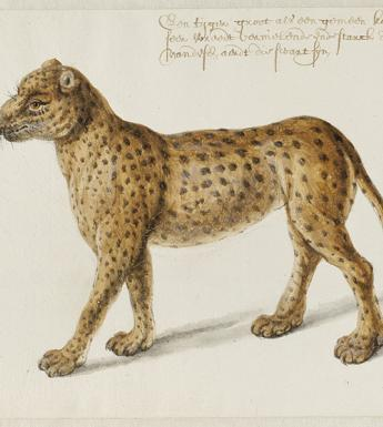 Frans Post (1612-1680), Jaguar. © Noord-Hollands Archief, Haarlem