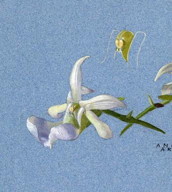 Botanical drawing by Alice Jacob
