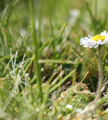 A close up view of grass with a daisy growing in its midst