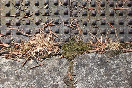 Silver byrum moss
